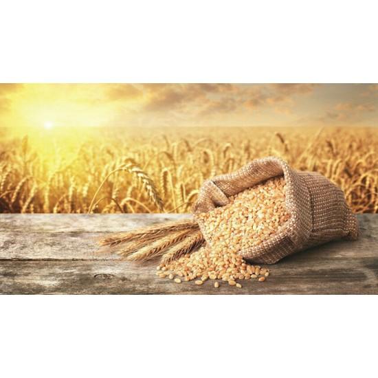 Buğday Ekmeklik - Makarnalık